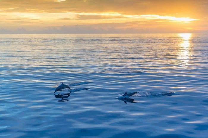 Cá heo vui đùa ở Maldives