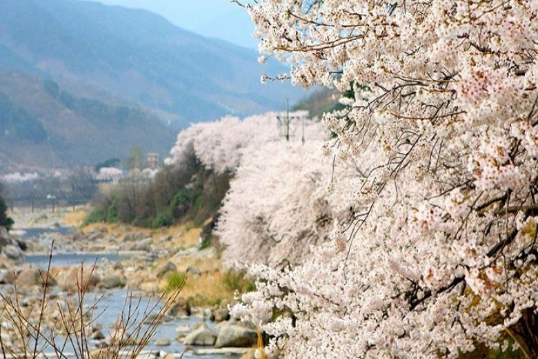 Hàn quốc mùa Anh Đào