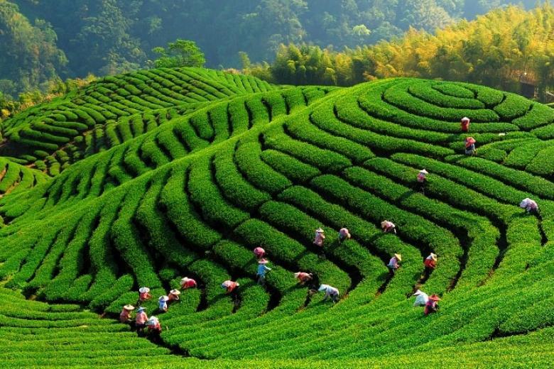 Nông trại trà