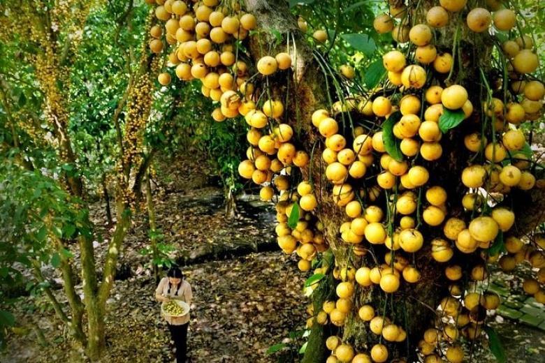 Vườn trái cây Bà Hiệp