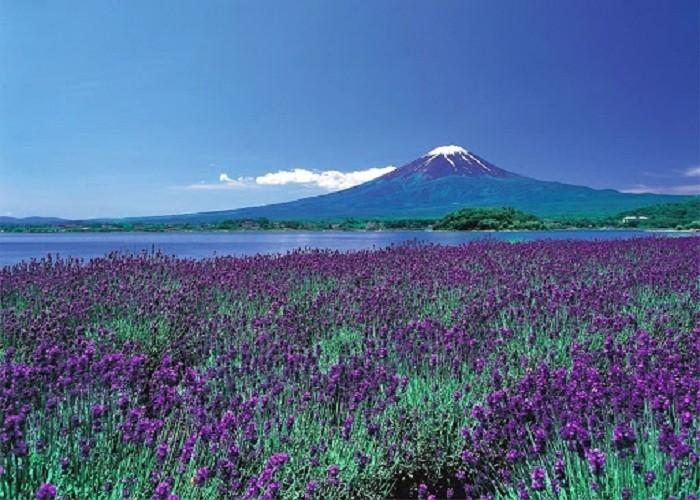 Nhật Bản mùa Hoa Oải Hương