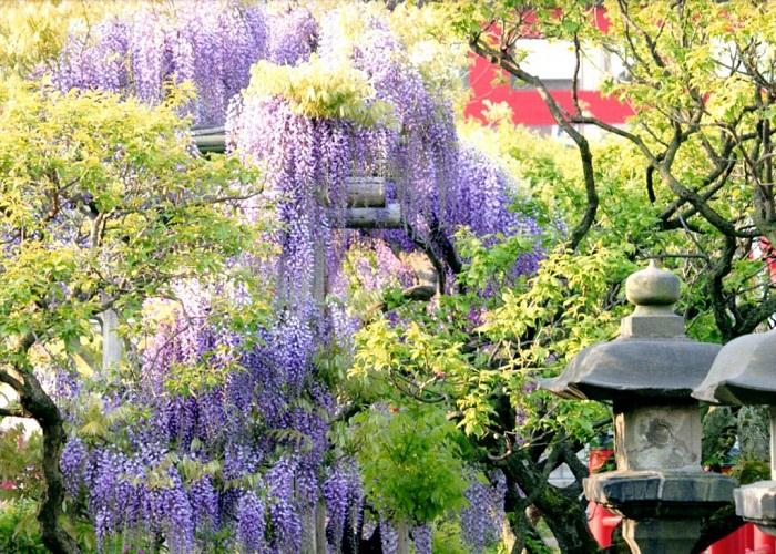 Ngắm hoa Tử Đằng ở đền Kameido