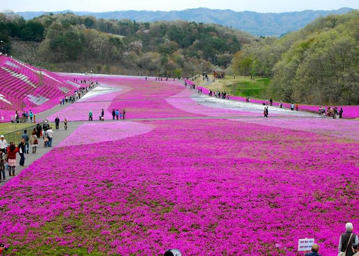 Lễ hội hoa Chi Anh - Fuji Shibazakura Festival