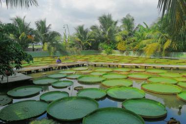 HCM - Khu du lịch Xẻo Quýt - Chùa lá sen khổng lồ - Vườn ca cao 1 Ngày