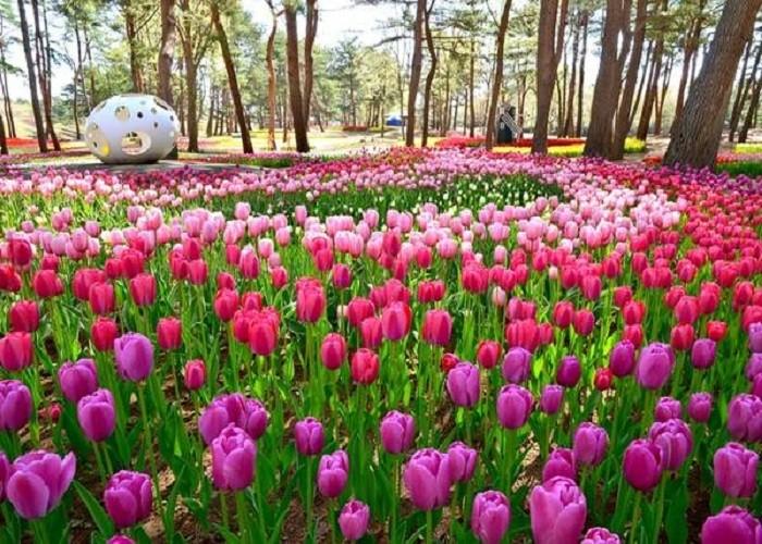 tulip_ibaraki